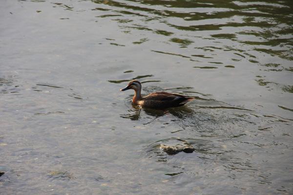 神戸川にはさまざまな生き物が住んでいます。ちょっと汚いけどね。